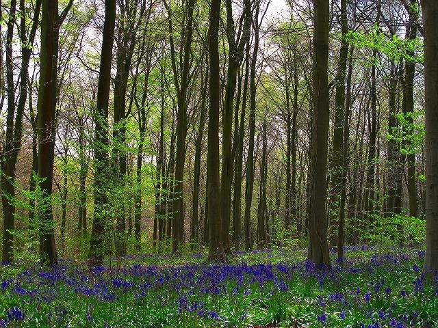 ブルーベルWest Wood.jpg